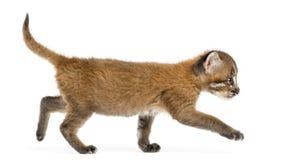 Vista laterale di un gatto dorato asiatico che cammina, temminckii di Pardofelis fotografie stock libere da diritti