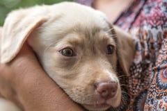 Vista laterale di un Labrador osservato vetro Immagine Stock