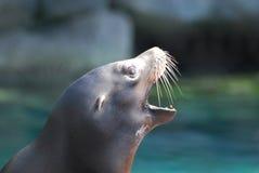 Vista laterale di un leone marino con la sua bocca aperta Immagine Stock