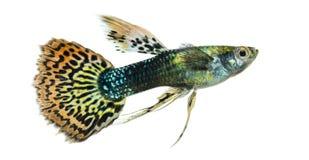 Vista laterale di un nuoto del Guppy, poecilia reticulata fotografia stock libera da diritti