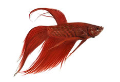 Vista laterale di un pesce siamese di combattimento, splendens di Betta Immagini Stock