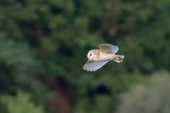 Vista laterale di un volo alba di Owl Tyto del singolo granaio, in volo Immagini Stock