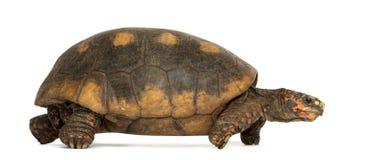 Vista laterale di una camminata Rosso-footed della tartaruga Fotografie Stock Libere da Diritti