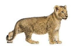 Vista laterale di una condizione del cucciolo di leone, distogliente lo sguardo, vecchio 10 settimane Fotografia Stock