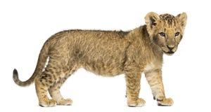 Vista laterale di una condizione del cucciolo di leone, guardante giù, vecchio 10 settimane Immagini Stock