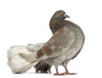 Vista laterale di una condizione del piccione Immagini Stock