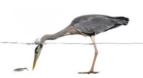 Vista laterale di una pesca di Grey Heron, testa sotto acqua Immagini Stock Libere da Diritti