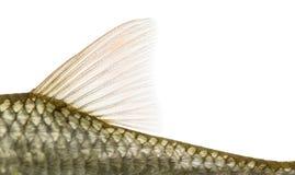 Vista laterale di una pinna dorsale comune del roach, rutilus rutilus Immagine Stock Libera da Diritti