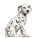 Vista laterale di una seduta dalmata del cucciolo, esaminante la macchina fotografica Fotografia Stock