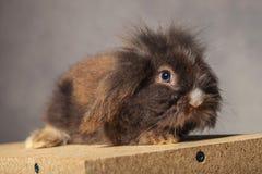 Vista laterale di una seduta sveglia del coniglietto del coniglio della testa del leone Immagini Stock Libere da Diritti