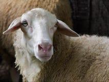 Vista laterale di una testa del ` s delle pecore Fotografie Stock