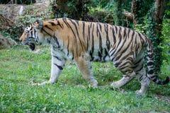 Vista laterale di una tigre dell'Amur nella foresta immagini stock libere da diritti