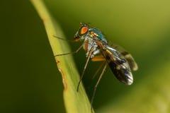 Vista laterale a macroistruzione della mosca con le gambe lunghe Fotografia Stock Libera da Diritti