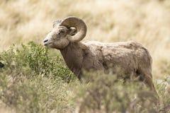 Vista laterale piacevole della ram del bighorn fotografia stock