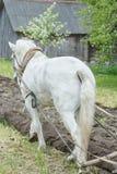 Vista laterale posteriore del suolo d'aratura del cavallo da tiro bianco nel terreno coltivabile di primavera Fotografie Stock Libere da Diritti