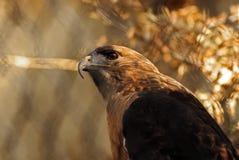 Vista laterale Rosso-Munita del falco Fotografie Stock