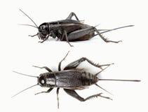Vista laterale superiore e del cricket nero Immagini Stock Libere da Diritti