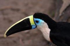 Vista laterale toucan del Amazon Immagini Stock