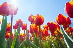 Vista macra de debajo de tulipanes anaranjados en sol Imagen de archivo