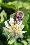 Flor de polinización de la abeja Foto de archivo libre de regalías