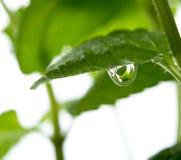 Vista macra de las hojas de menta fresca foto de archivo