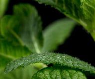 Vista macra de las hojas de menta fresca fotos de archivo libres de regalías