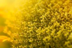 Vista macra de las semillas de girasol del colorfull Fotos de archivo libres de regalías