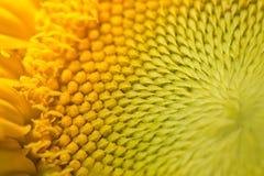 Vista macra de las semillas de girasol del colorfull Foto de archivo