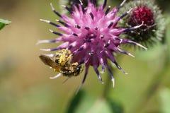 Vista macra de los fulvipes salvajes caucásicos lanudos de un Macropis de la abeja en a Foto de archivo libre de regalías