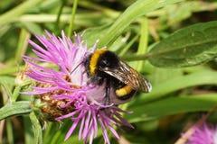 Vista macra de un lucorum caucásico del abejorro del abejorro del verano encendido Imagen de archivo libre de regalías