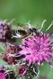 Vista macra de un rotundata caucásico mullido gris le del Megachile de la abeja Imágenes de archivo libres de regalías