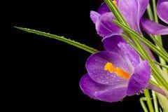 Vista macra de una flor hermosa del azafrán Fotografía de archivo