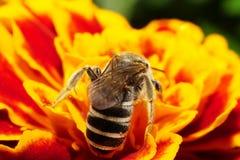 Vista macra del abdomen y de las alas de una abeja en un Cauca salvaje Fotografía de archivo libre de regalías