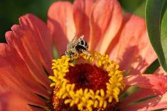 Vista macra del albigena blanco-gris caucásico mullido de Amegilla de la abeja Imagenes de archivo