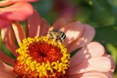 Vista macra del albigena rayado y gris o del caucásico de la abeja de Amegilla Fotografía de archivo libre de regalías