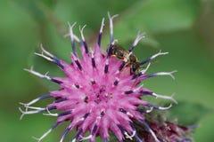 Vista macra del lado de una pequeña abeja caucásica rayada Melitta Fotos de archivo
