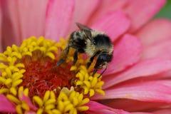 Vista macra del serrisqu rayado mullido caucásico del Bombus del abejorro Imágenes de archivo libres de regalías