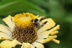 Vista macra del serrisquama caucásico del Bombus del abejorro Imagen de archivo libre de regalías