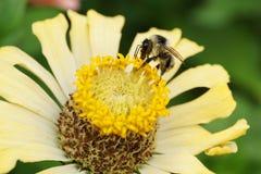 Vista macra del serrisquama caucásico del Bombus del abejorro en f amarilla Imagen de archivo libre de regalías
