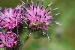 Vista macra desde arriba de la abeja caucásica del género de Melitta en burdo Imagen de archivo libre de regalías