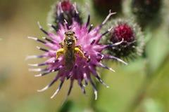 Vista macra desde arriba de un fu salvaje caucásico lanudo de Macropis de la abeja Foto de archivo libre de regalías