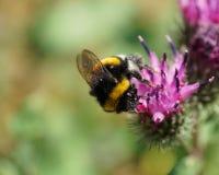 Vista macra desde arriba del lucor mullido caucásico del Bombus del abejorro Imágenes de archivo libres de regalías