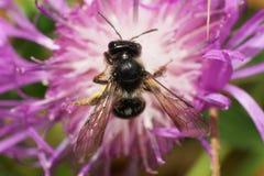 Vista macra desde arriba del nitidiuscula caucásico de Andrena de la abeja Fotos de archivo