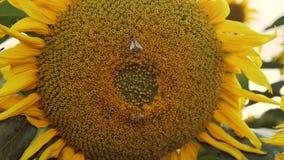 Vista macra hermosa de un girasol en la plena floraci?n con una abeja que recoge el polen metrajes