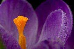 Vista macro de uma flor bonita do açafrão Fotografia de Stock