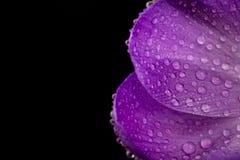 Vista macro de uma flor bonita do açafrão Imagem de Stock