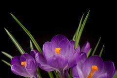Vista macro de uma flor bonita do açafrão no preto Fundo da mola Fotos de Stock