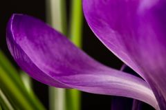 Vista macro de uma flor bonita do açafrão no preto Fundo da mola Fotografia de Stock