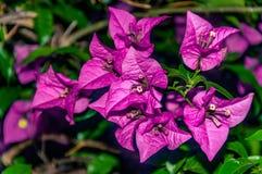 Vista macro de uma flor magenta cor-de-rosa pequena imagem de stock