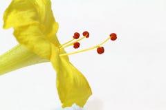Vista a macroistruzione estrema di flusso giallo di jalapa del Mirabilis Fotografia Stock Libera da Diritti